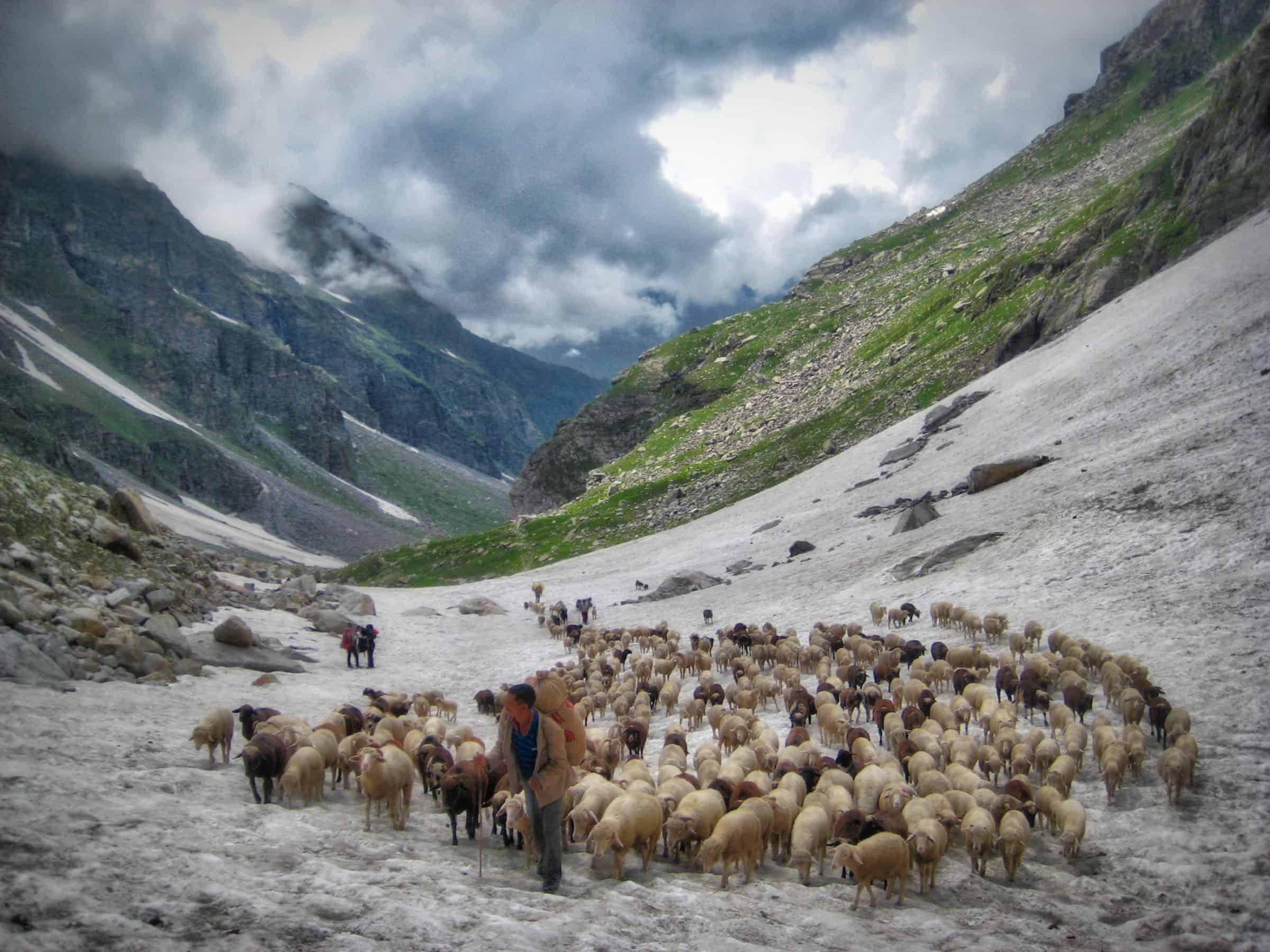 Ladakh landscape and livestock
