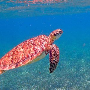 Turtle swimming in clear waters
