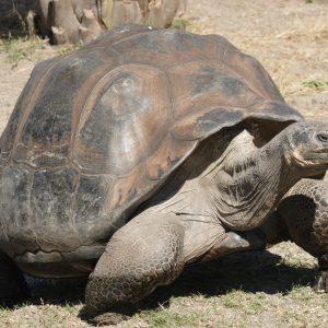 Giant tortoise in Galapagos