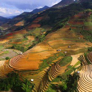Rice field landscape Vietnam