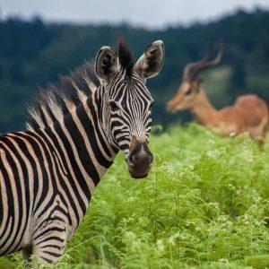 Zebra eSwatini