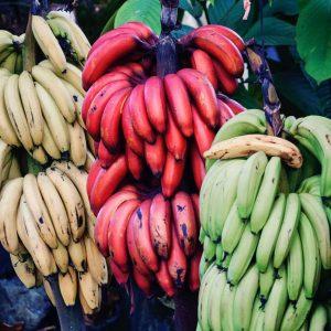 Bananas growing in Costa Rica